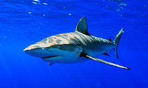 Галапагосская акула