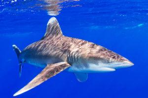 Длиннокрылая акула. Тихий Океан о. Гуам
