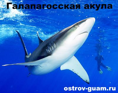 Галапагосская акула острова Гуам