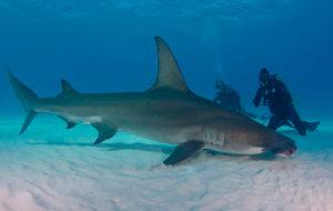 Гигантская акула-молот о. Гуам