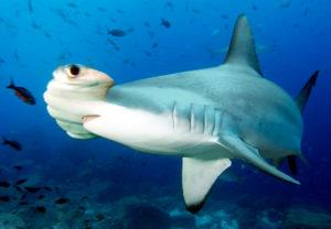 Бронзовая акула-молот о. Гуам