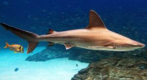 Серо-голубая акула. Гуам