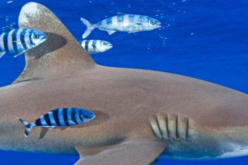 Акулы острова Гуам