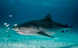 Тигровая акула о. Гуам
