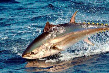 Ловля тунца
