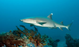 Рифовая акула о. Гуам